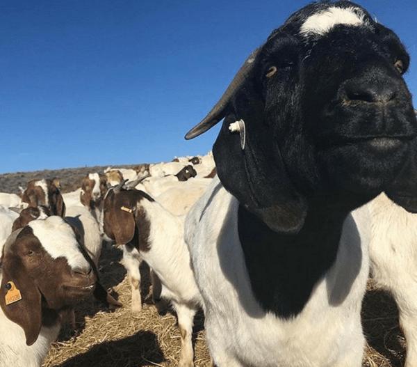 Le capre addestrate come caddie