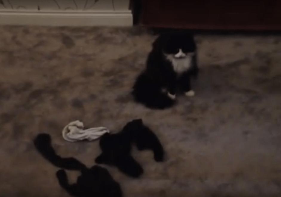 Gatto diventa ladro seriale