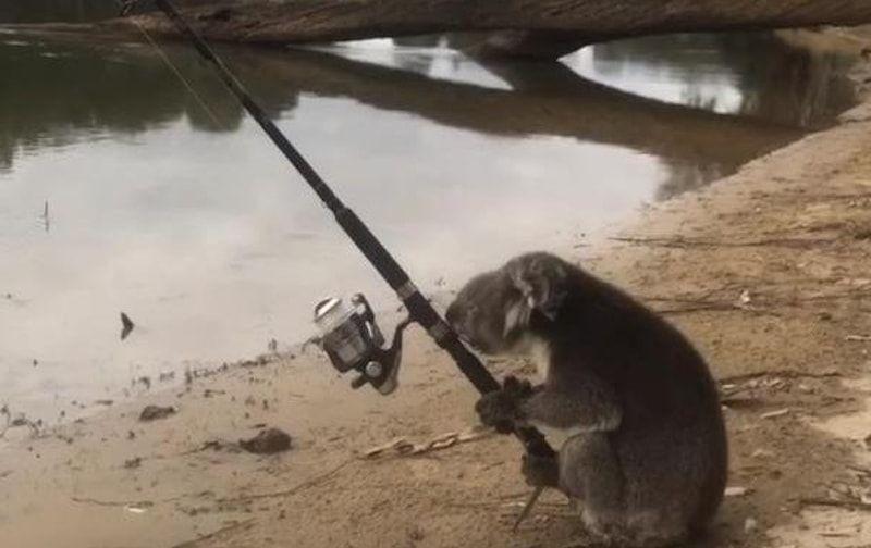 koala, canna, pesca, fiume