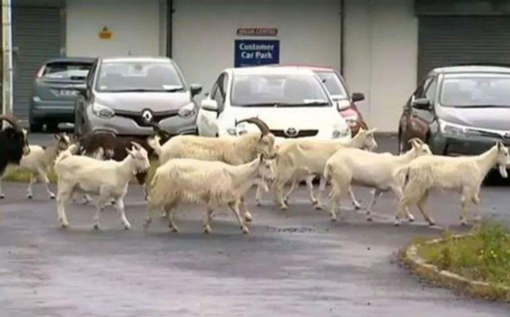 il problema delle capre in Irlanda