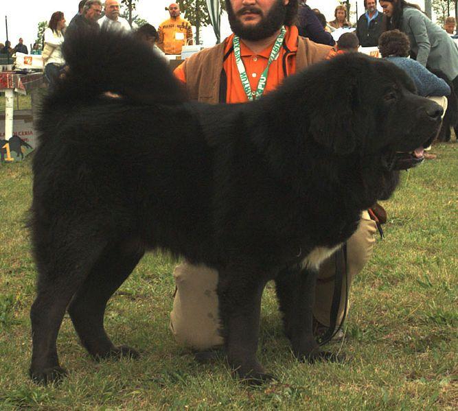Il mastino tibetano in realtà è un orso