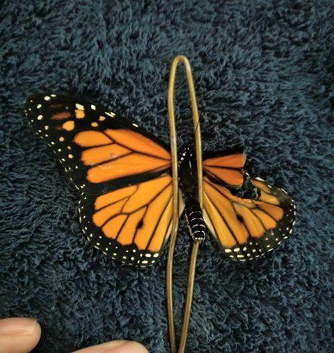 donna aiuta farfalla ala spezzata commenti memorabili