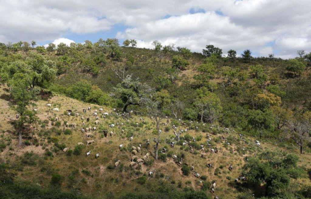 in Portogallo le capre anti incendi