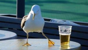 I gabbiani alle prese con la birra