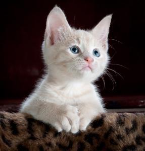 Gatto e toxoplasma gondii