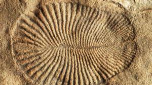 Fossile di Dickinsonia
