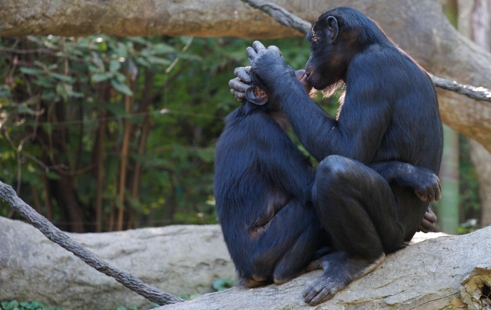 Bonobo-gay