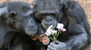 2504679-scimpanzefamiglia4