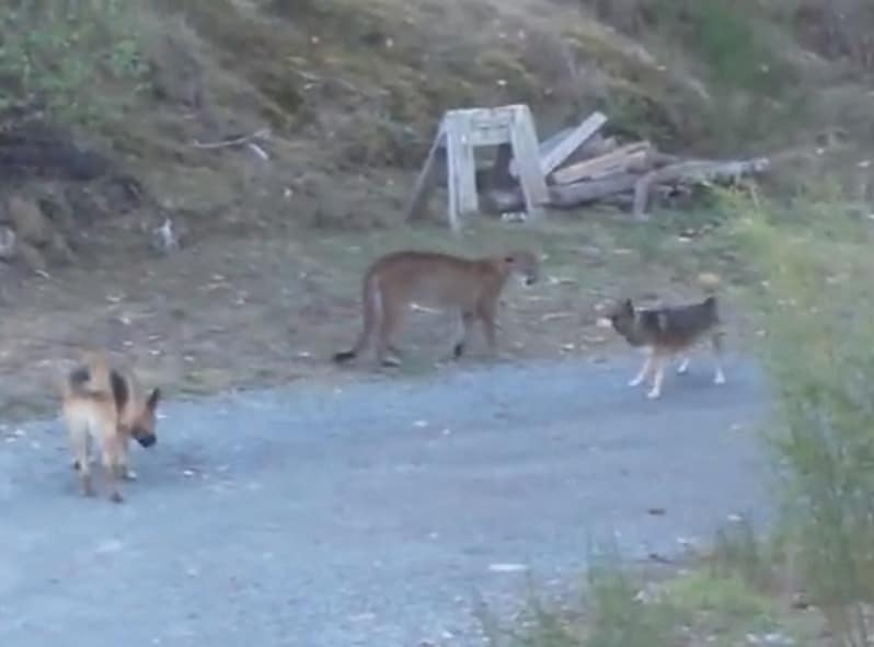 cani coraggiosi contro puma