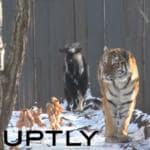 tigre e capra zoo safari primorski