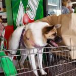 Pig cane inconsueto