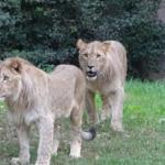 Leone ucciso zoo Lipsia