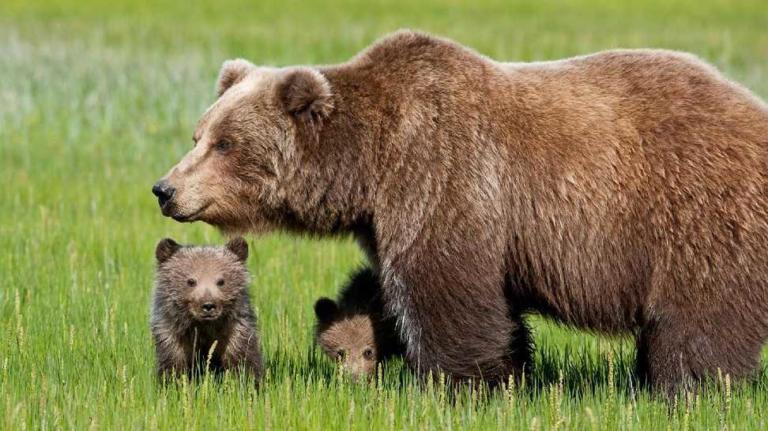 L'orsa JJ4 vince la prima battaglia: non sarà abbattuta