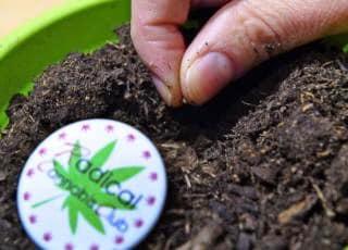 cannabis autofiorente
