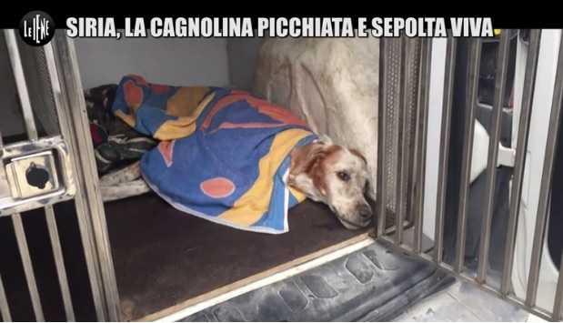 siria cagnolina