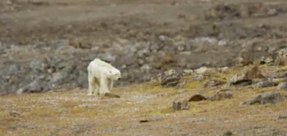 orso polare moribondo