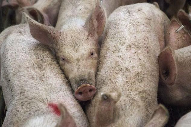 Veneto, sequestrate dieci tonnellate di carne cinese per la