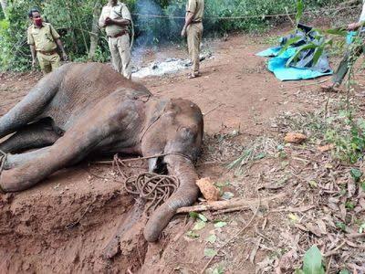 Nessuno ha consegnato l'ananas esplosivo all'elefantessa mor