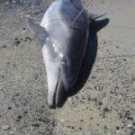 delfino ucciso capo carbonara 2