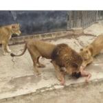 zoo suicida leoni nudo santiago cile - 4