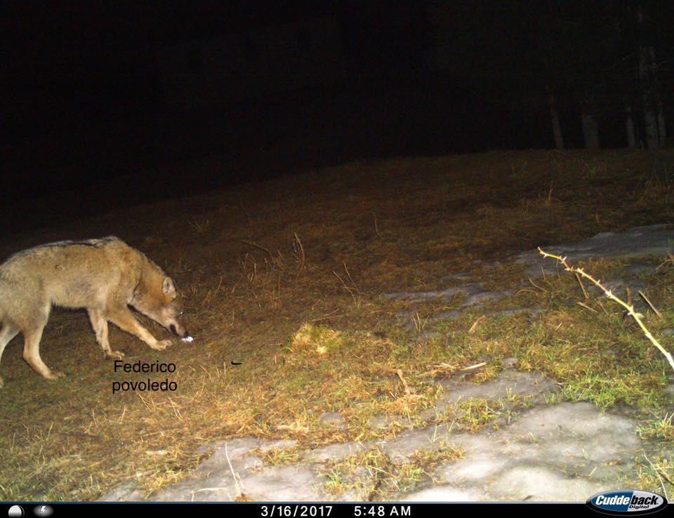 lupi altopiano di asiago - 2