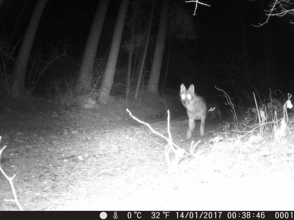 lupi altopiano di asiago - 4