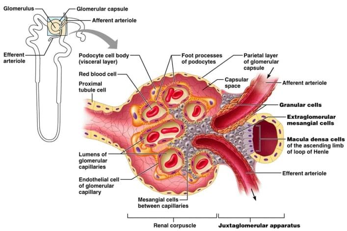 seu sindrome emolitico uremica 1