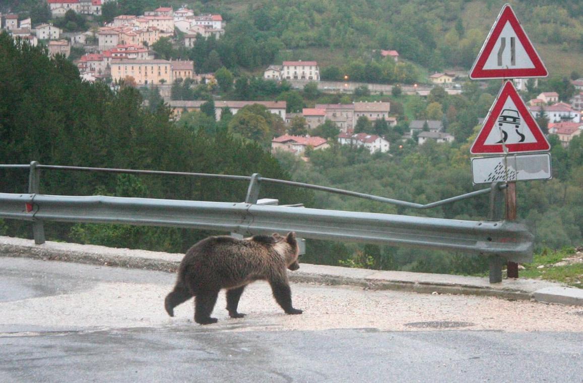 orsa amarena bisegna parco nazionale abruzzo pnalm - 2