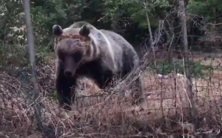 orsa amarena parco nazionale abruzzo orso marsicano - 4