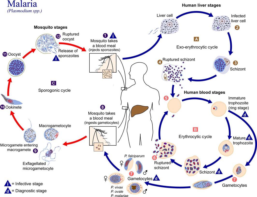 malaria ricerca