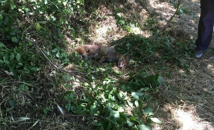 Chi ha ucciso giglio la volpe di villa pamphili? nextquotidiano