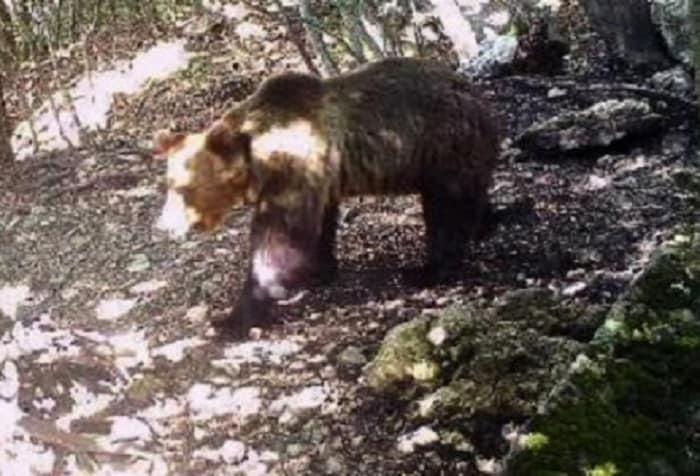 Come se la passa l'orso M49 al Casteller