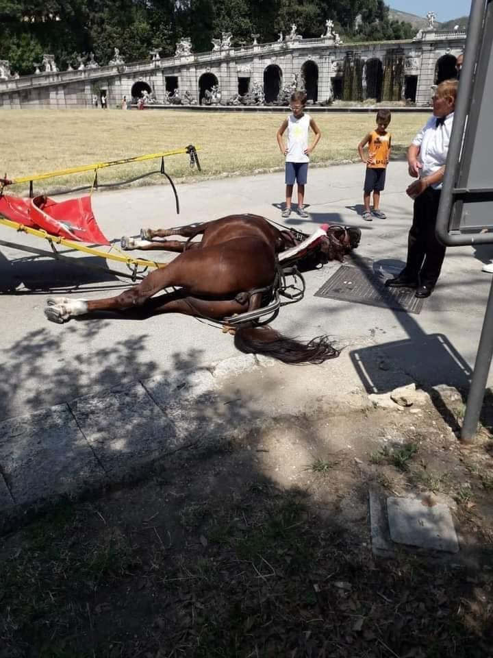 Le foto del cavallo che stramazza al suolo alla Reggia di Caserta