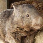 patrick vombatide wombat