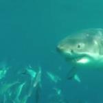 squali bianchi