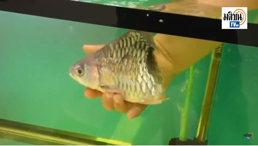 pesce senza coda - 2