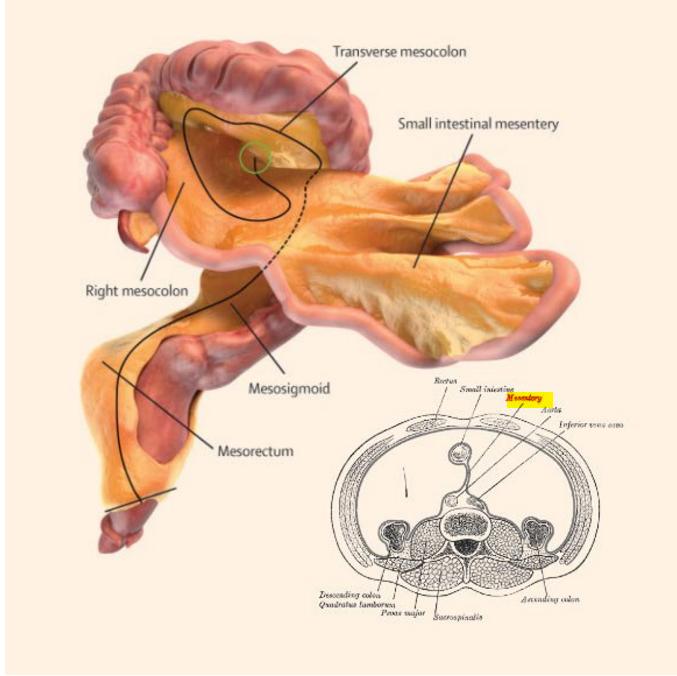 mesentere organo scoperta lancet