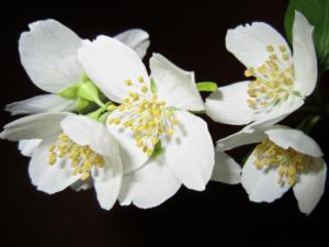 fiore di gelsomono