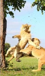 leoni che giocano