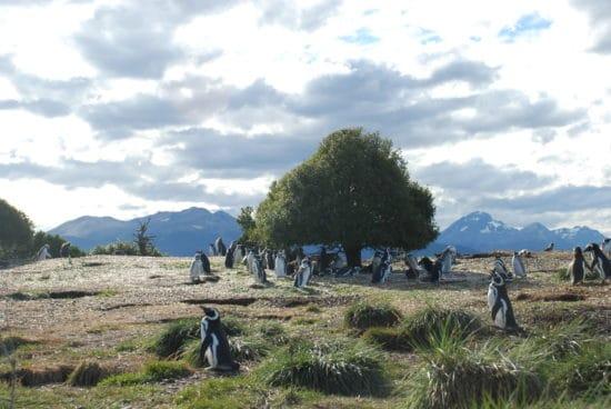 pinguini patagonici