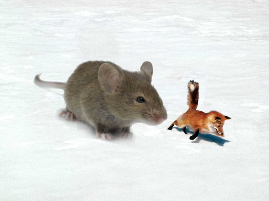Giant mouse vs fox