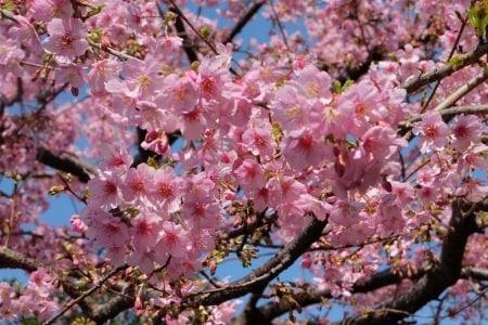 fioritura ciliegi giappone date