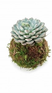 kokedama-for-your-mama-mothers-day-kokedama-gift-for-mom