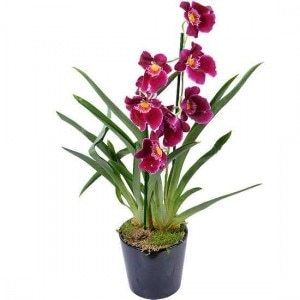 orchidee-miltonia-red-tide-550x550-28196
