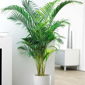 areca-palm-2-450w